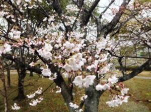 多布施川 桜 1